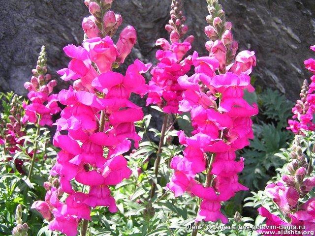 Цветы садовые фото с названием